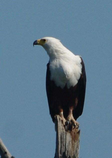 fish-eagle (1)