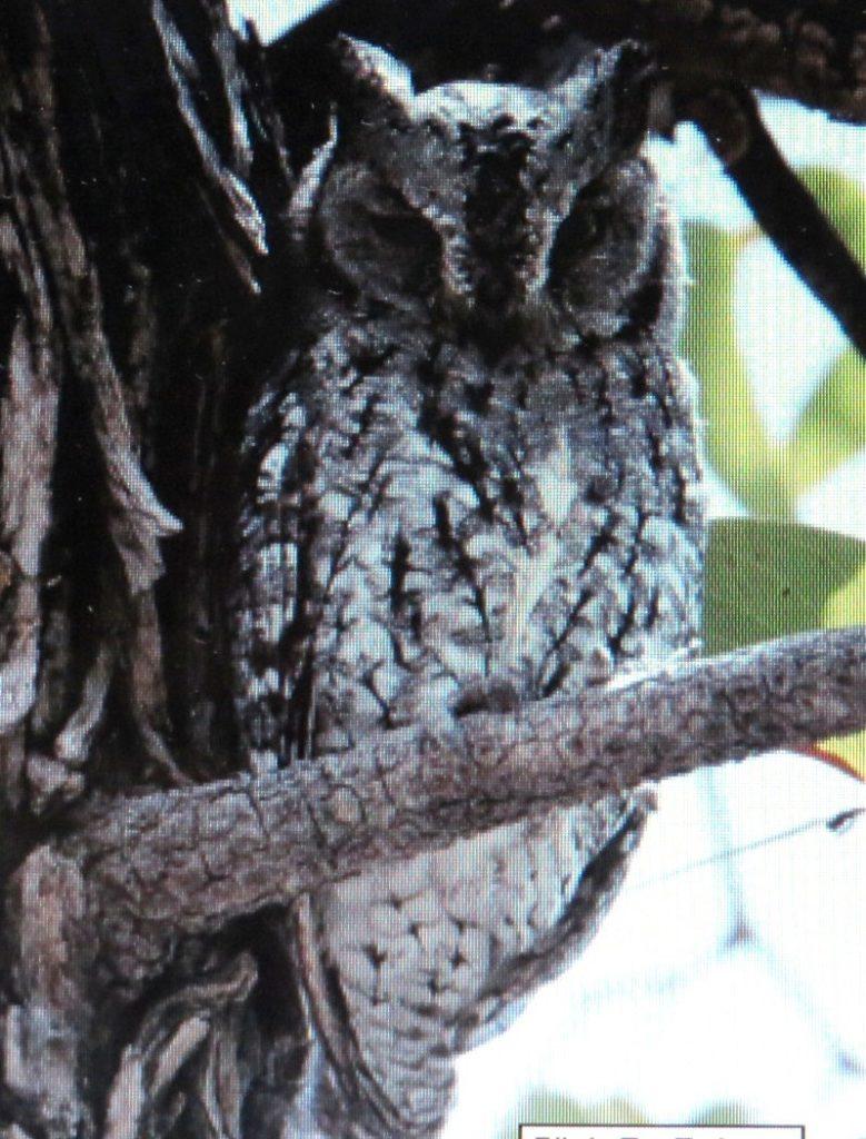 african-scops-owl