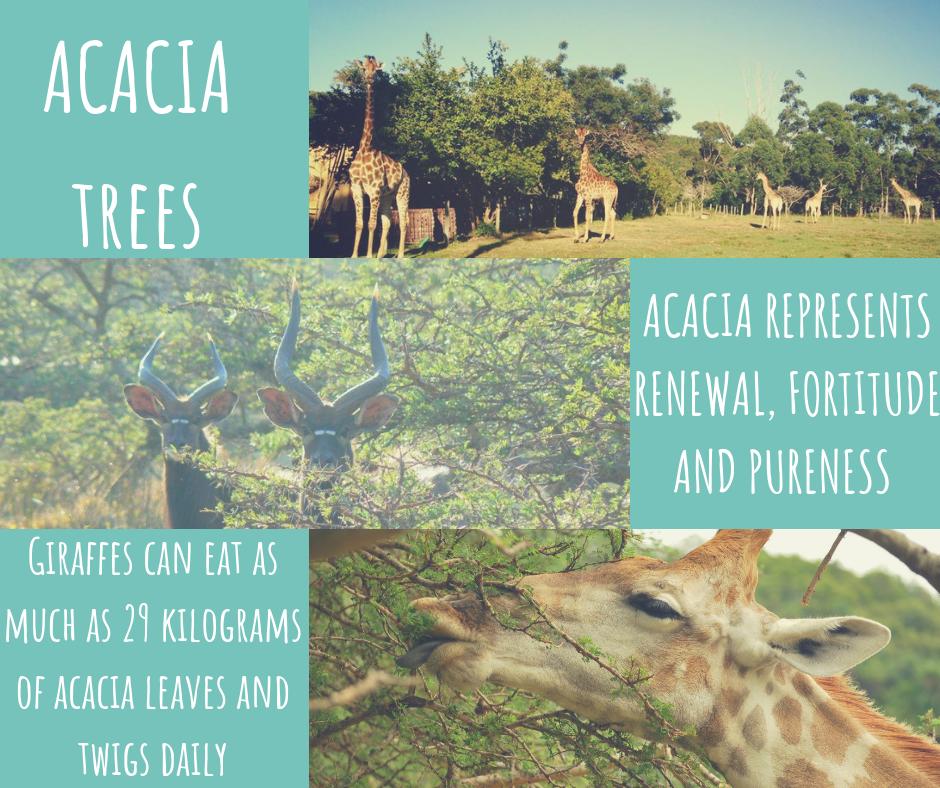 acacia-trees-1