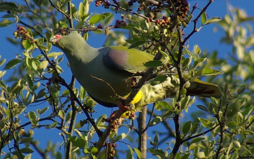 green-pigeon2