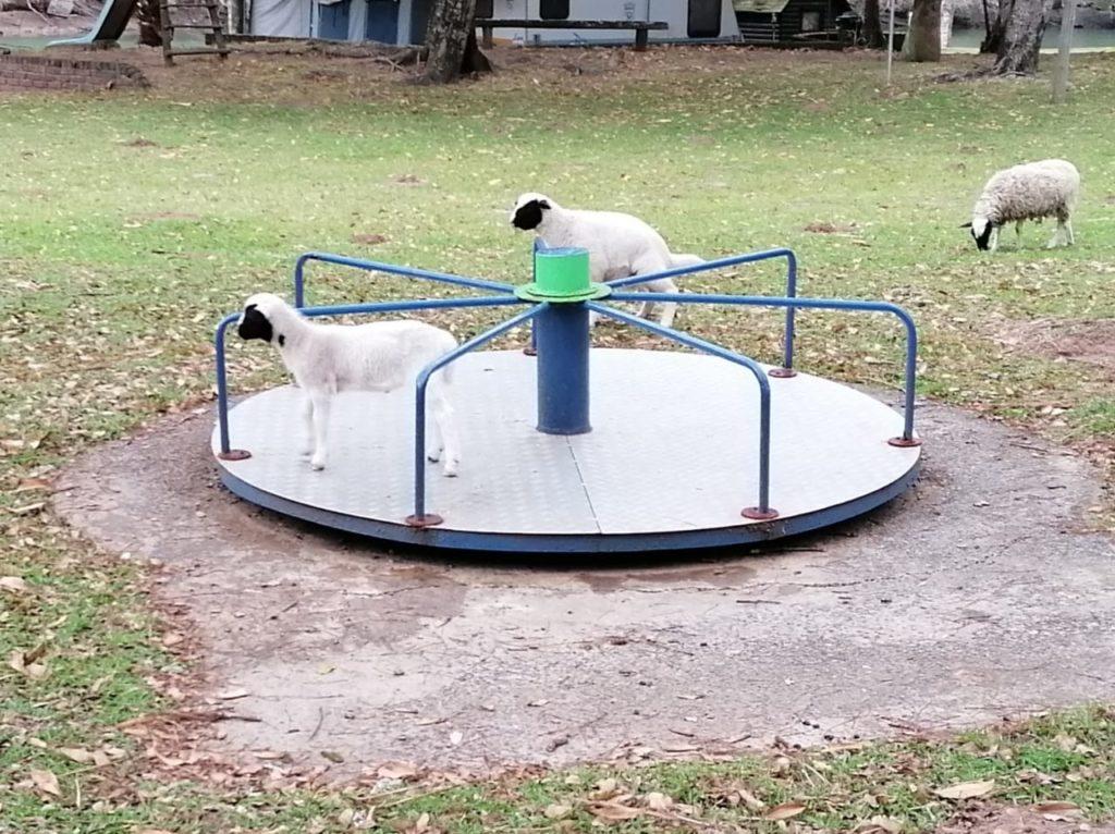 Lambs-on-playground