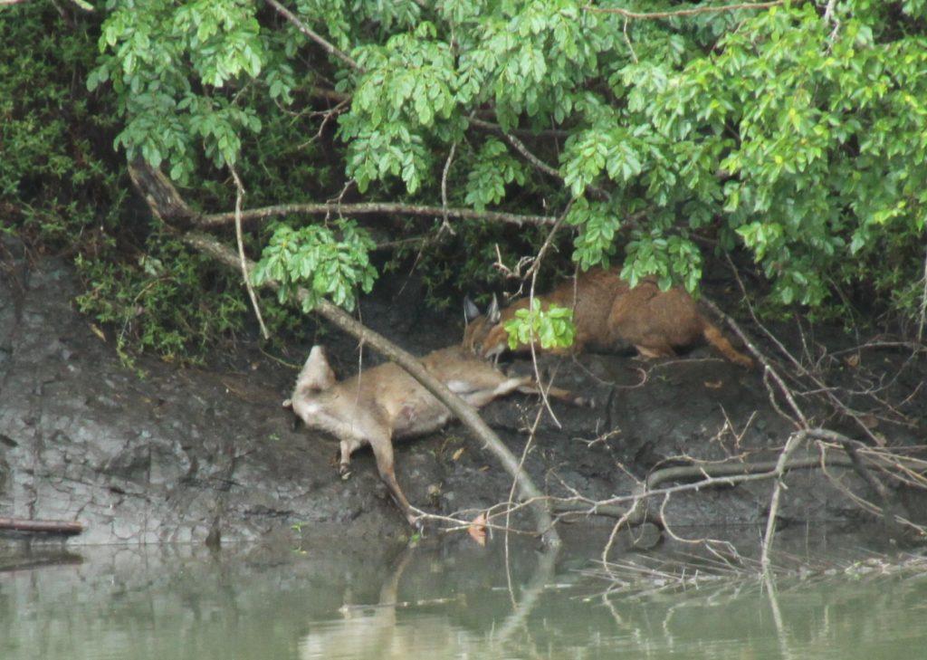 Areena-Lynx-dragging-bushbuck-kill