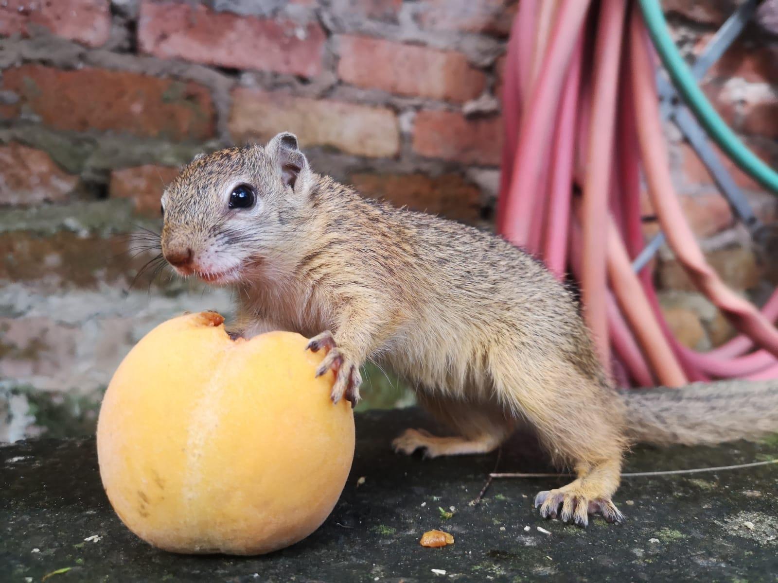 squirrel-peach